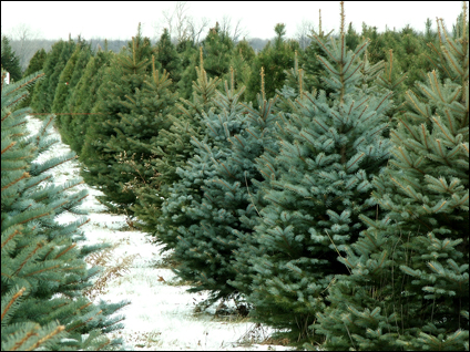 Find a Christmas Tree Farm in Kentucky