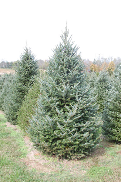 Nieman's Tree Farm - Kentucky Christmas